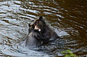 Young grizzly bears play fighting in Glendale Cove, Canada