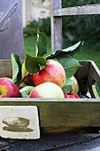 Fresh apples in a wooden box on a garden chair