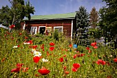 Blooming poppies in front of a typical Swedish house in southern Sweden