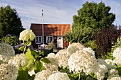 Blooming hydrangeas in front of a typical Swedish house in southern Sweden