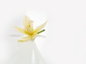 Vanilla blossom on a white background