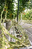 Tomato vines on the ECF Farm in Berlin, Germany