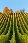 Bunte Weinberge im Herbst (Volkach, alte Mainschleife, Franken, Bayern, Deutschland)