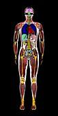Whole body, coronal MRI scan