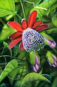 Passion flower (Passiflora quadrangularis)