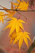 Japanese maple (Acer palmatum) leaves in autumn colouration