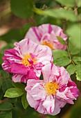 Gallic rose (Rosa 'Rosa Mundi') in flower
