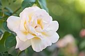 Hybrid climber rose (Rosa 'Peace')