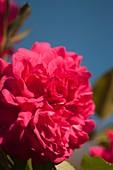 Hybrid rose (Rosa 'Laguna')
