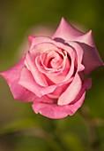 Hybrid tea rose (Rosa 'Georgetown Tea')