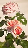 Climbing rose (Rosa 'Aloha Hawaii')