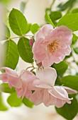 Hybrid rose (Rosa sp.)
