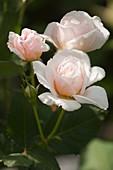 Hybrid rose (Rosa 'Tamora')