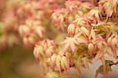 Japanese maple (Acer palmatum) leaves