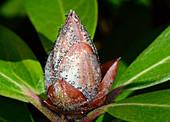 Rhododendron bud blast