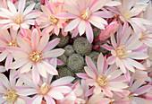 Cactus Aylostera heliosa x albiflora