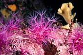 Cold water soft coral