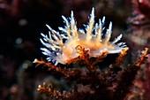 Nudibranch (Dendronotus niveus)