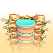 Lumbar vertebrae, illustration
