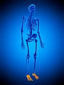 Foot bones, illustration