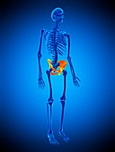 Hip bones, illustration