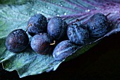 (Prunus domestica), Garden plum, on a red cabbage leaf with water droplets