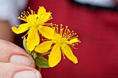 Hand holding fresh St. John's wort blossoms (close-up)