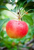 Ein roter Apfel am Baum (Close Up)