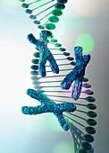 DNA strand with x chromosomes, illustration
