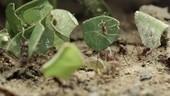 Leaf-cutter ants, slow motion