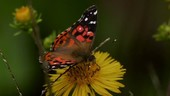 Butterfly on flower, slow motion