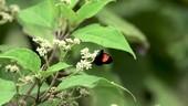 Butterfly on flowers, slow motion
