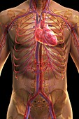 The Cardiovascular System, artwork