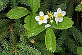 Virginia strawberry (Fragaria virginiana) flowers