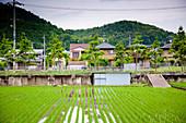 Rice field, Japan