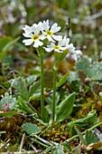 Mistassini primrose (Primula mistassinica)