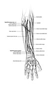 Forearm muscle anatomy, illustration