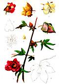Cotton (Gossypium arboreum), 20th Century illustration
