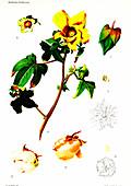 Cotton (Gossypium indicum and Gossypium negelctum)