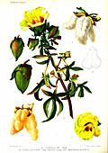 Cotton (Gossypium cernuum and Gossypium negelctum vera)