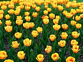 Tulips in a flower bed