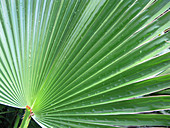 Mexican fan palm (Washingtonia robusta)