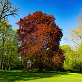 Acer rubrum in the park