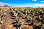 Aloe vera plants, Fuerteventura, Canary Islands