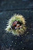 Fresh chestnuts (Castanea sativa) in the hull
