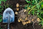 Potatoes and a shovel in the soil