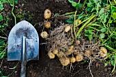 Kartoffeln und Schaufel auf dem Feld