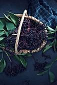 A basket of fresh black elderberries (Sambucus nigra)