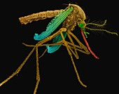 Female Aedes aegypti mosquito, SEM