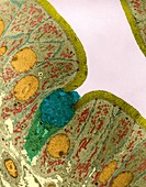 Goblet cell in mucosal lining of the small intestine, TEM